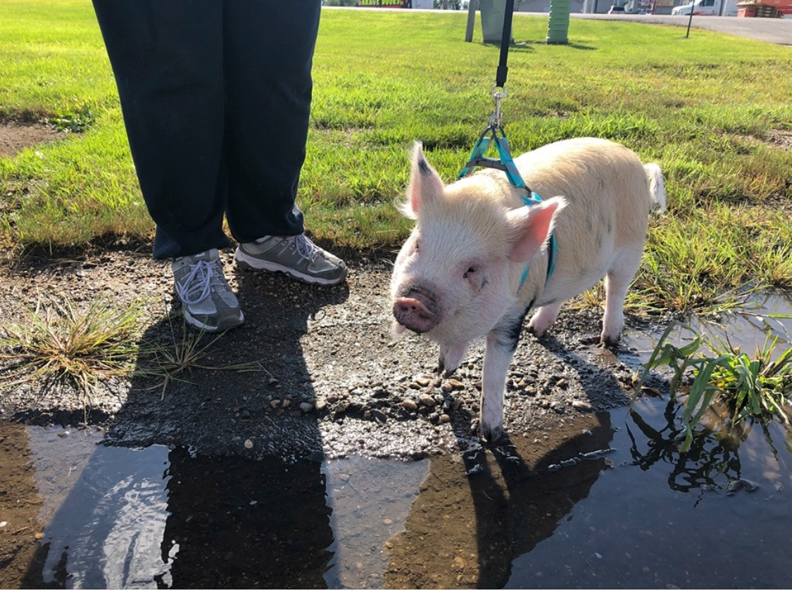 Who let the dogs — and pig — out? Article in Wahpeton Daily News